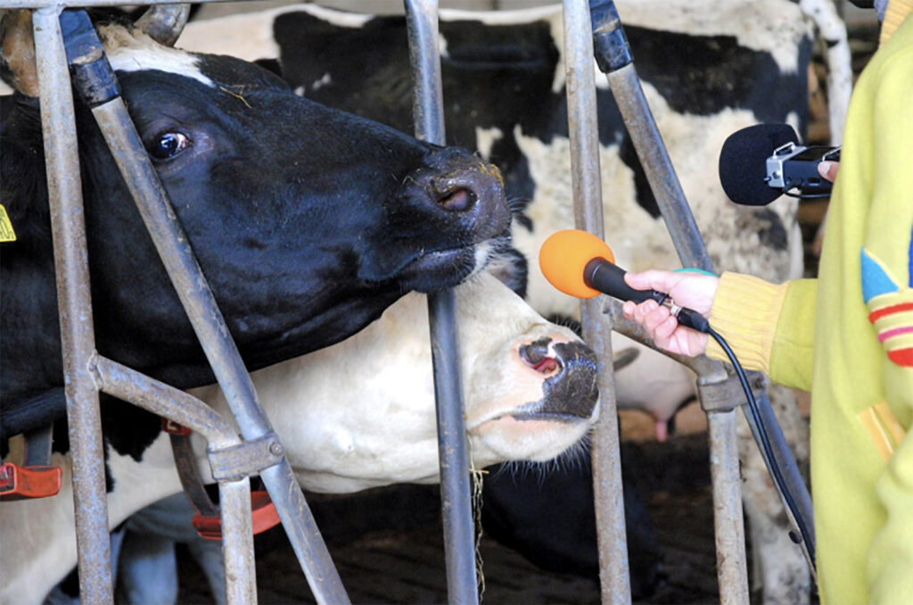 Image Description: Two microphones are pointed to two cows in their enclosure.